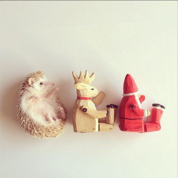 Best Hedgehogs Images On Pinterest Beautiful Bff And - Darcy cutest hedgehog ever