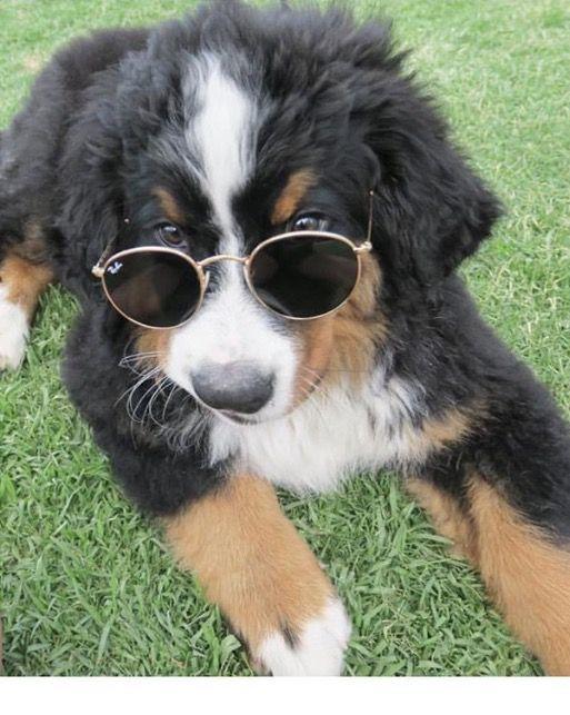 Popular Bernese Mountain Dog Chubby Adorable Dog - 2a96b70f9db6a2da059a4c174ce02ac4--swiss-see-you  Snapshot_74289  .jpg