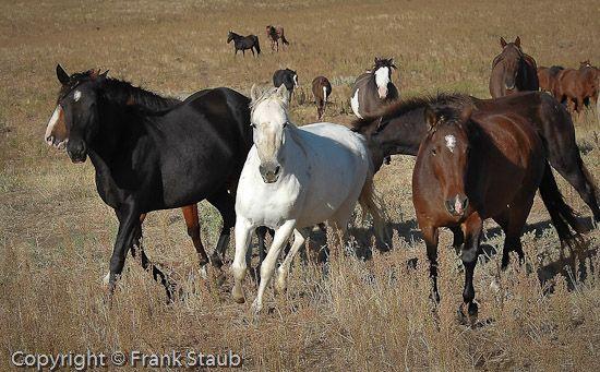 Диких коней бежит. Черные холмы дикой лошади заповедник, горячие источники, Южная Дакота.