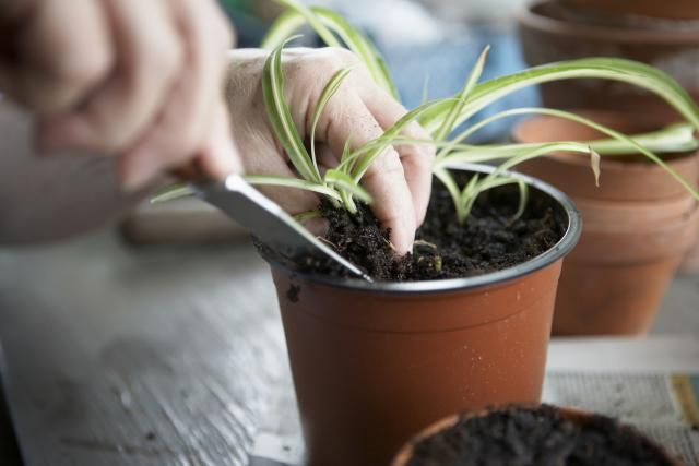 How to root young plants from cuttings, including the use of rooting hormone and tips for success.