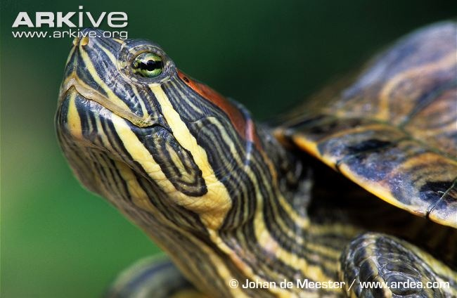 Yellow-bellied slider turtle! I've got one and he's the sweetest turtle you have ever seen!!:) he's so cute too