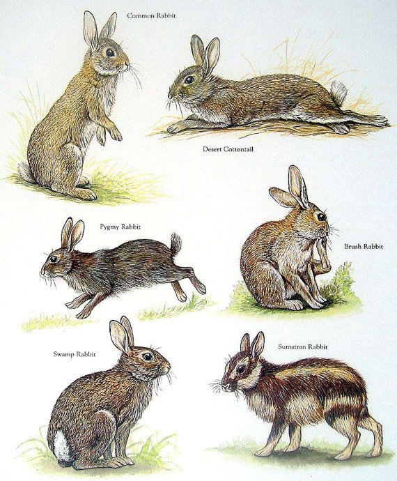 Rabbits - Common Rabbit, Desert Cottontail, Swamp Rabbit, Brush Rabbit - Vintage 1980s Animal Book Plate Page