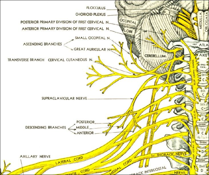 Cervical Spinal Nerves | Cervical Spine | Pinterest | Spinal nerve