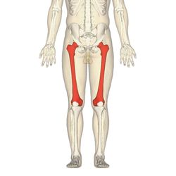 Did you know that a thigh bone is stronger than concrete?