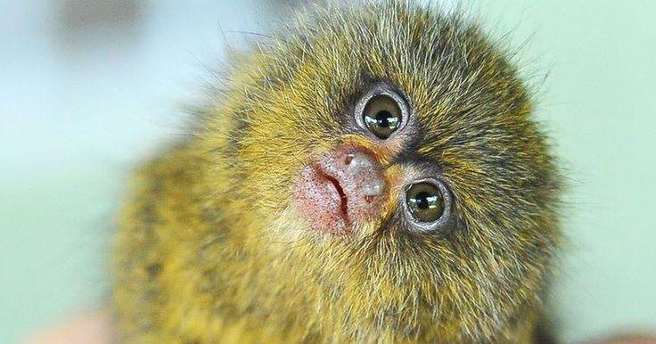 Malgré les apparences, Ninita n'est pas un Ewok tout droit sorti de l'univers de Star Wars mais un Ouistiti pygmée, la plus petite espèce de singe recensée à ce jour. Recueillie par des soigneurs, cette adorable boule de poils miniature passe désormais son t