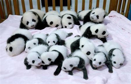 赤ちゃんパンダ14匹勢ぞろい、中国の施設でお披露目