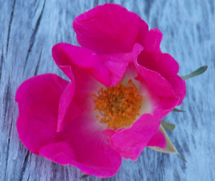 Flor, Patagonia
