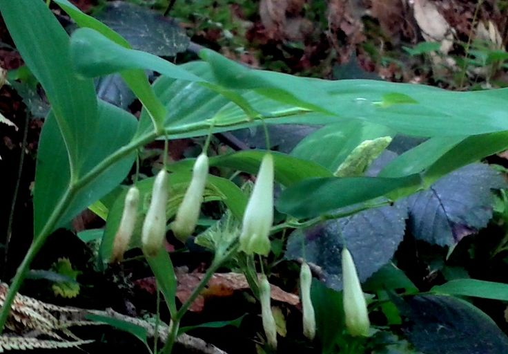 POLYGONATUM  OFFICINALE                   SELLO  DE  SALOMON