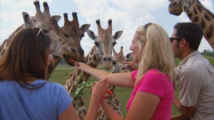 Hand Feeding Canada's largest herd of giraffe!  #giraffe #africanlionsafari
