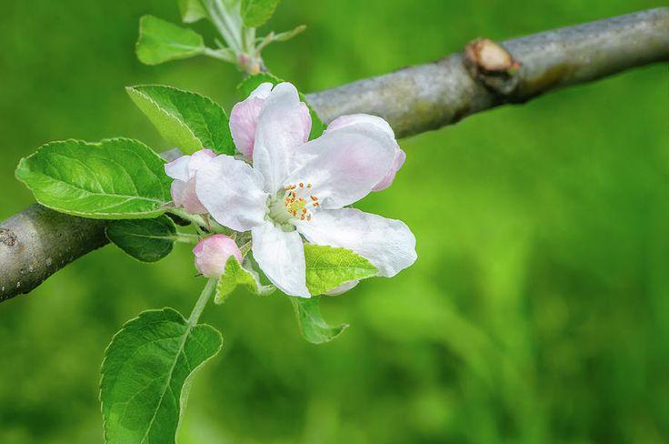 Jane Star Photograph - Springtime - Blooming Tree - 1 by Jane Star  #JaneStar #Spring #AppleTree #ArtForHome #InteriorDesign #HomeDecor