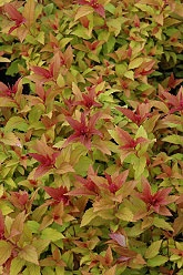 Goldflame Spirea, I have several and I love this bush!