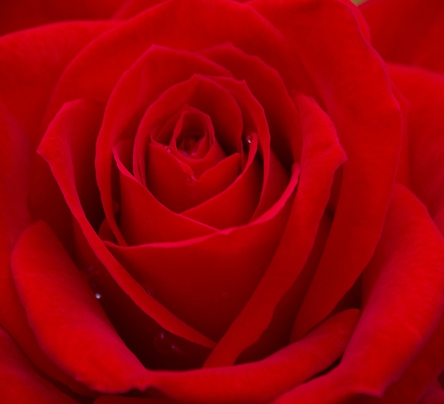 544 best red roses images on pinterest red roses for Do black roses really exist