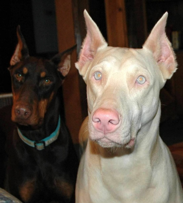 Fawn doberman. Rare and beautiful.  Never saw one of these before - didn't even know there was such a thing!