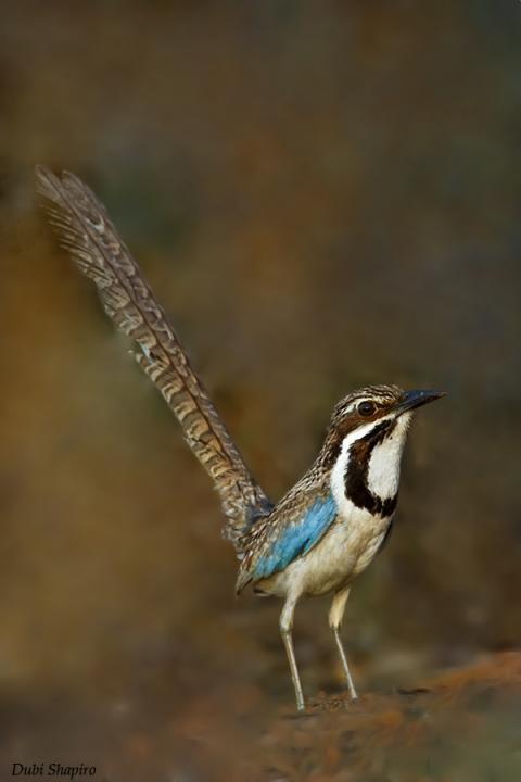 Long-tailed Ground-Roller (Uratelornis chimaera): endemic to Madagascar