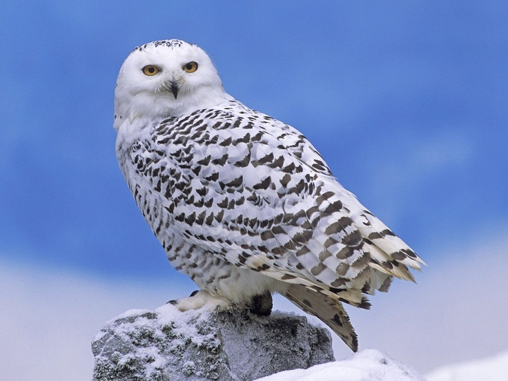 Google Afbeeldingen resultaat voor http://tharunaya.info/mx0125/wallpaper/image_wallpaper/Wildlife_4.jpeg: Awesome Animal, Adult Male, Animal Kingdom, Snow Owl, Snowy Owl, Beautiful Snowy, Owls, Snowyowl, Feathers Friends