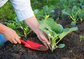 СОВЕТЫ ДАЧНИКАМ. ЭТО ДОЛЖЕН ЗНАТЬ КАЖДЫЙ Землянику полезно мульчировать хвойным опадом. Это улучшит вкус ягод, а также поможет справиться с серой гнилью, долгоносиком, клещом, проволочником. А мульчи…