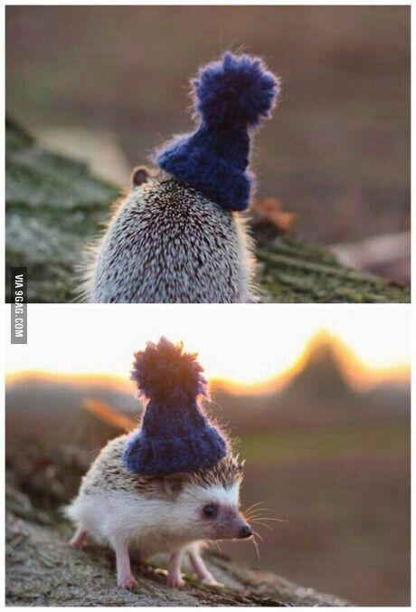 Hedgehog wearing a beanie