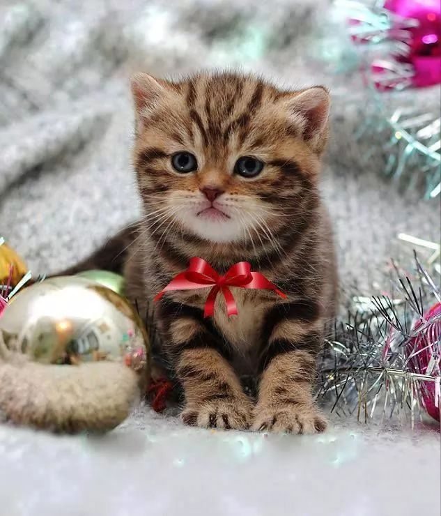 This little kitty is ready for Christmas.