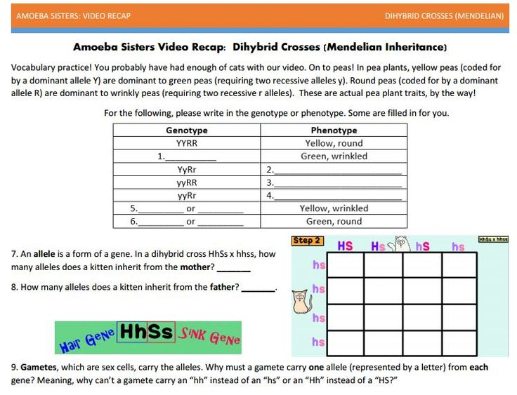 Dihybrid with punnett squares handout made by Amoeba ...