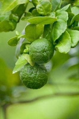 wild (kaffir) lime