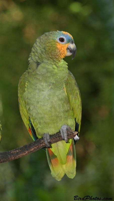 Orange-winged Amazon (Amazona amazonica)