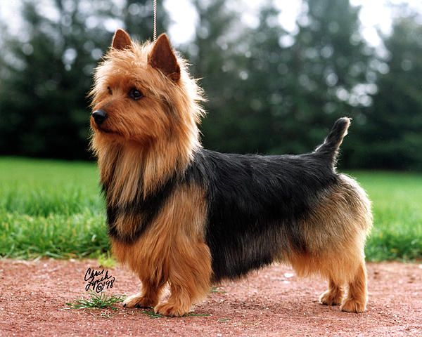 WHAT A BEAUTIFUL ANIMAL!       Australian Terrier ♡ The best terrier on earth!