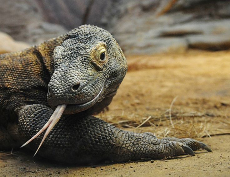 komodo dragons... I think that they are kind of cute.   Never mind that a bit of the bacteria from their mouth could kill you.