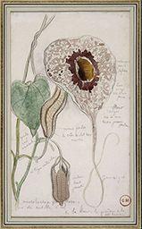 Etude d'aristoloche (Aristolochia grandiflora), Gustave Moreau