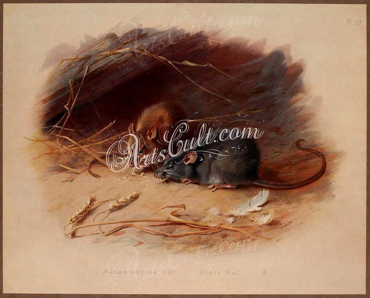 Alexandrine Rat, Black Rat      ...
