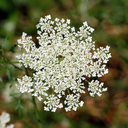 "I LOVE this flower! QUEEN ANNE'S LACE (Wild Carrot) - ""About one in four plants has a single deep purple flower (the ""fairy seat"") in the center of the cluster of all-white flowers."""