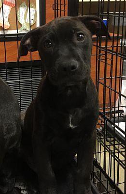 Ringoes, NJ - Labrador Retriever. Meet Black Lab Puppies a Dog for Adoption.