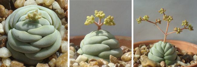 Денежное дерево (60 фото): как получить красивое и здоровое растение? http://happymodern.ru/denezhnoe-derevo-foto-kak-poluchit-krasivoe-i-zdorovoe-rastenie/ Необычная крассула alstonii сама по себе составляет весь бонсаи: и камень, и растение
