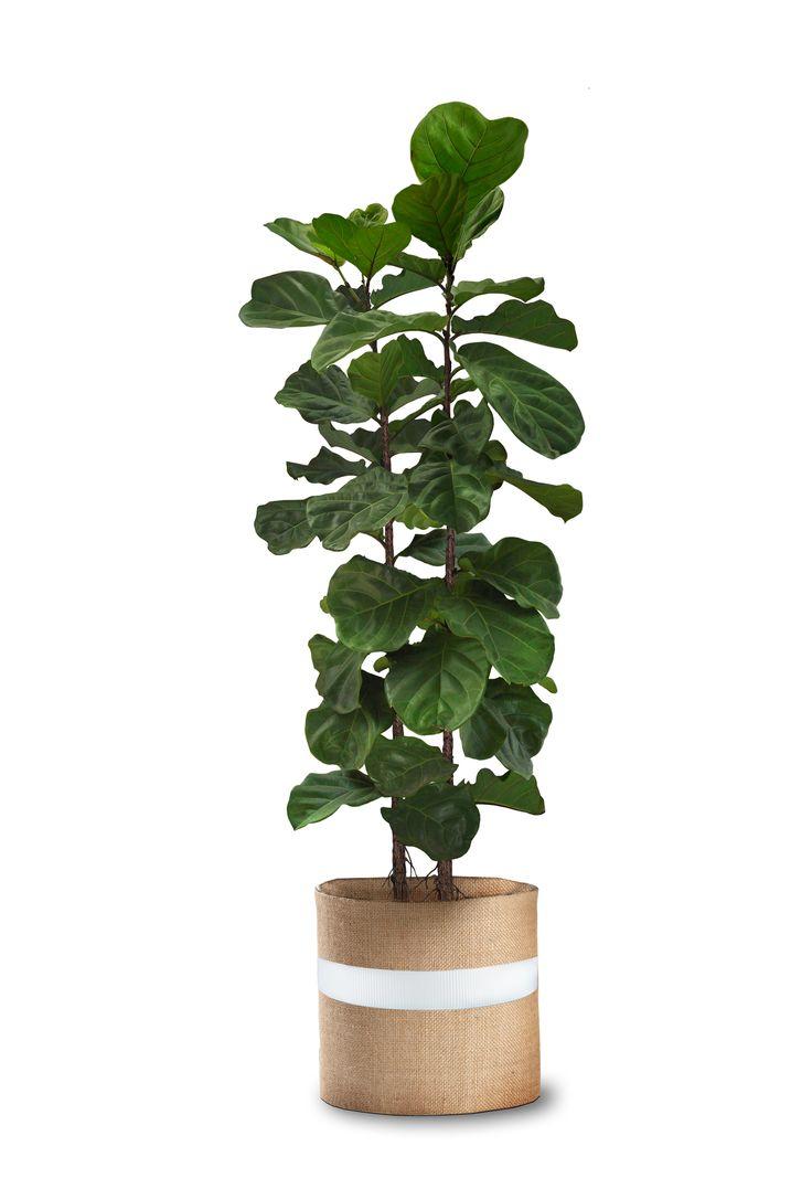 Wonderful Where To Buy Small Plants Part - 13: Real Palm Trees - OneKingsLane Exclusive Line - Buy Ficus Lyarta Buy Indoor  Plants OKL-