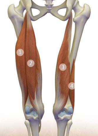 1) Biceps femoris (long head) 2) Semitendinosus 3) Semimembranosus 4) Biceps femoris (short head)
