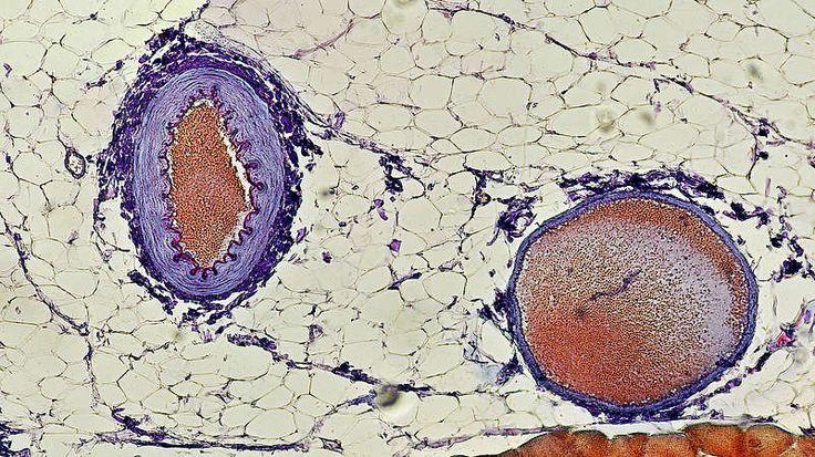 Zellen    Aus rund zehn bis 100 Billionen Zellen besteht der Körper eines erwachsenen Menschen, die jeweils zu einem der 200 unterschiedlichen Zell- und Gewebetypen gehören. Aufgereiht auf einer Kette würden sie den Äquator mehr als 50 Mal umschlingen. Unser Körper erneuert sich ständig selbst: Pro Stunde werden rund eine Million neue Zellen gebildet, 90 Prozent der Körperzellen werden mindestens einmal im Jahr ausgewechselt.