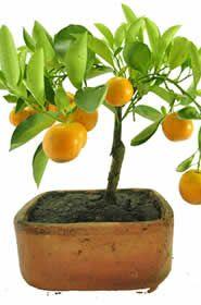 Bonsai Naranjo   El género Citrus pertenece a la familia de las rutáceas (Rutácea) y está representado por unas 60 especies de arbustos perennes, que incluyendo todo los híbridos y cultivares llegan a ser varios centenares, su origen se encuentra en china. http://www.magentaflores.com/productos/bonsai/details/27/19/bonsais-en-bogot%C3%A1-tienda-de-regalos-online%7C-venta-de-bonsai/bonsai-naranjo.html