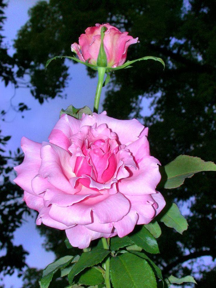 'Memorial Day' | Hybrid Tea Rose. Tom Carruth 2001  | Flickr - © Cap001 – Dan