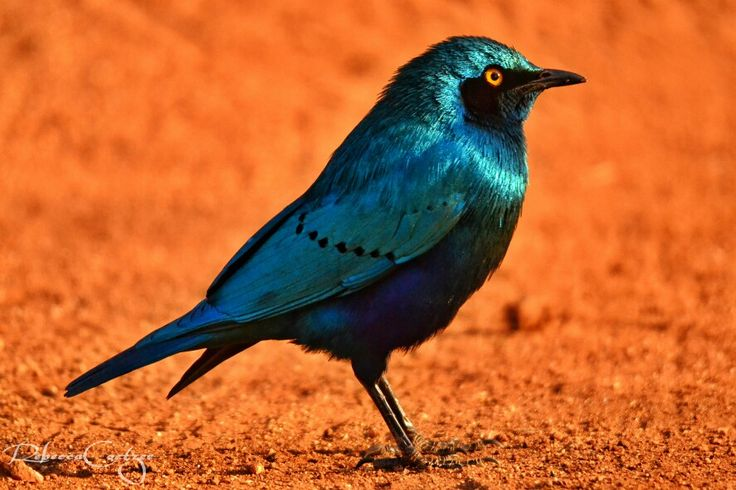 How hansom is this Cape Glossy Starling! #RebeccaCoetzeePhotography