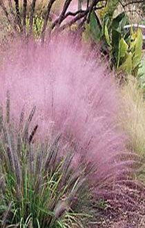 Muhlenbergia capillaris -- Native Plant Grower Maryland Low Impact Selections Mid Atlantic | Green Plantings Rain Gardens Xeriscape Bio-Retention Pollinator Garden Permaculture Bio-Habitat Gardens Design
