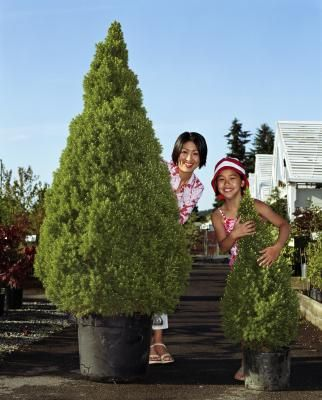 Best 25 dwarf evergreen trees ideas on pinterest for Small trees suitable for small gardens