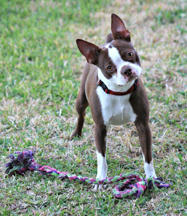 Maggie!  Available for adoption through the Texas Gulf Coast Boston Terrier Rescue www.facebook.com/btrescue