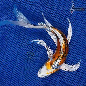 """10"""" Doitsu Kujaku Butterfly Fin Live Koi Fish Pond Garden NDK"""