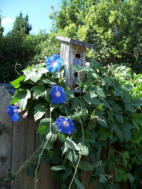 ... morning glories on Pinterest | Blue morning glory, Morning glories and