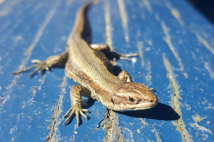 I caught a small lizard. http://ift.tt/2oPBV4c