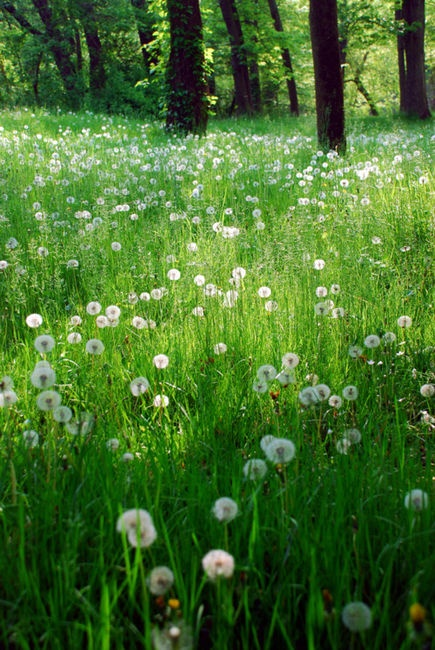 """""""Roses are red, / Violets are blue; / But they don't get around / Like the dandelions do.""""  ~Slim Acres"""