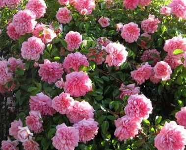 Les 25 meilleures id es de la cat gorie rosier grimpant remontant sur pinterest rosiers - Rosier en pot soleil ...