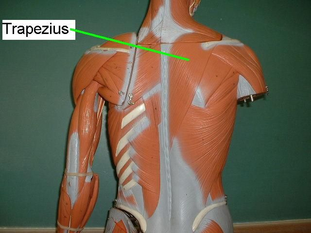 trapezius muscle model - google search | biology & chemistry, Muscles