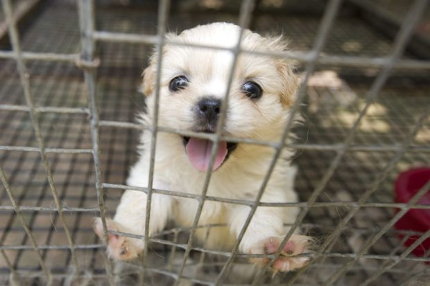 Puppy Mill Pup Mends Rescue Vet Worker S Broken Heart Puppy Mills Puppies Pup