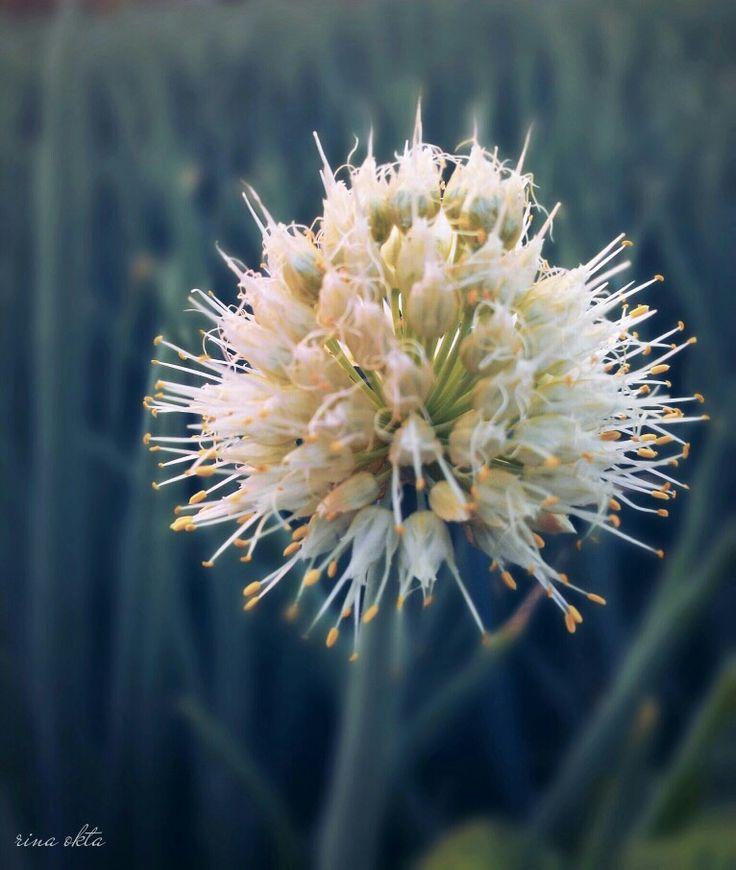 Onion Flower on Depth of field #Dof