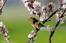 Image result for nanking bush cherry